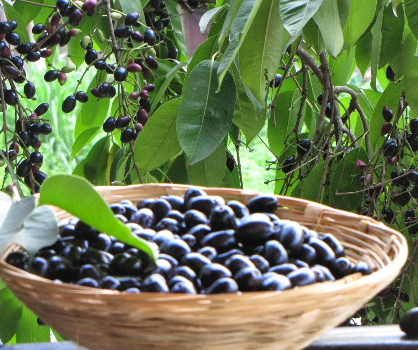 Black Jamun, a delicious sweet and tart fruit that grows in India